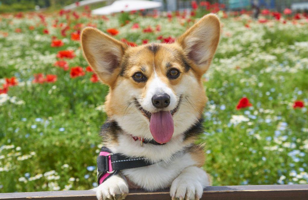 笑顔の犬(コーギー)と花畑
