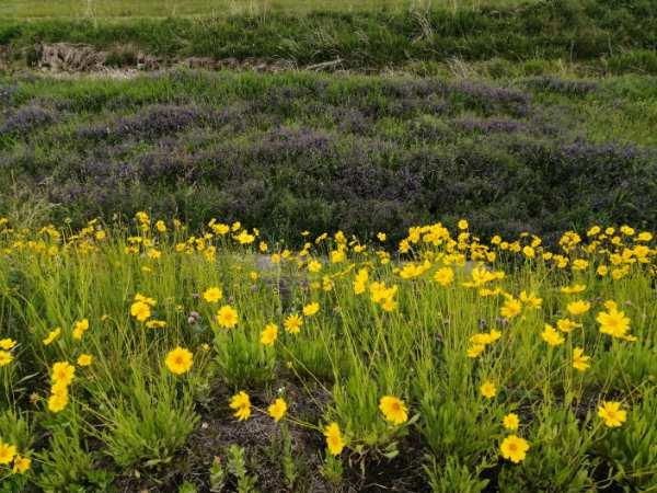 鳥羽川沿いにたくさん咲く黄色い花