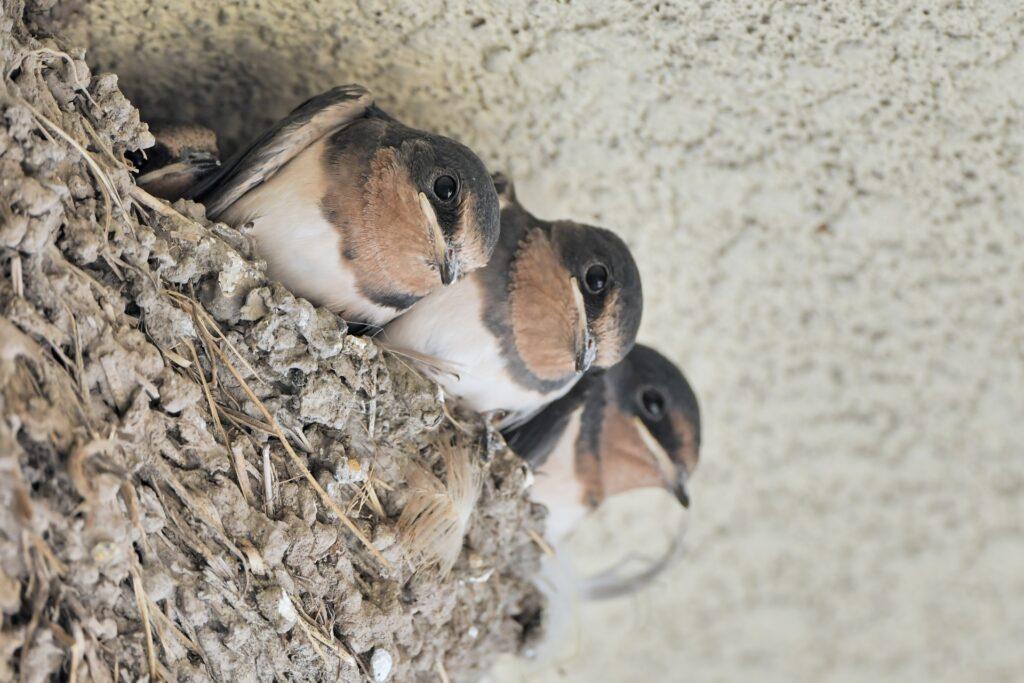 ツバメの巣から顔を出すヒナ3羽