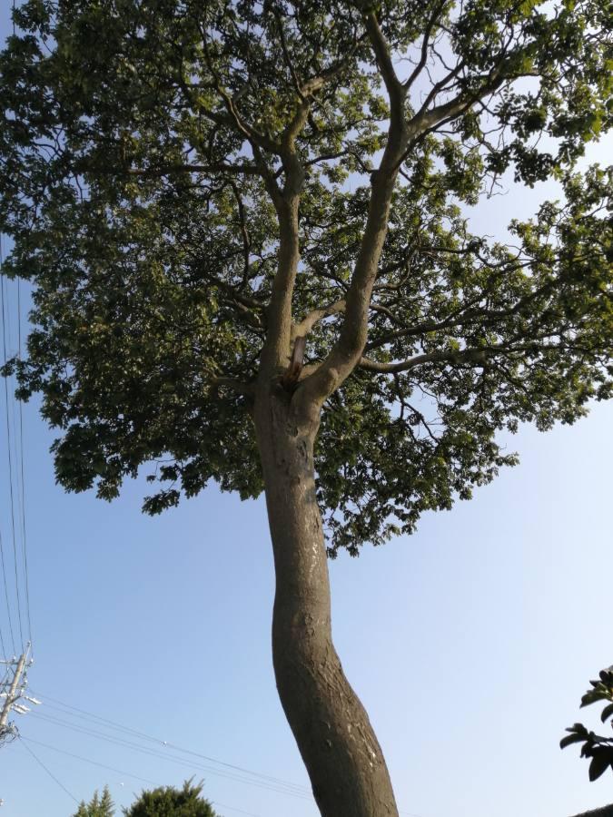 お客様をご案内した古民家に生える大木