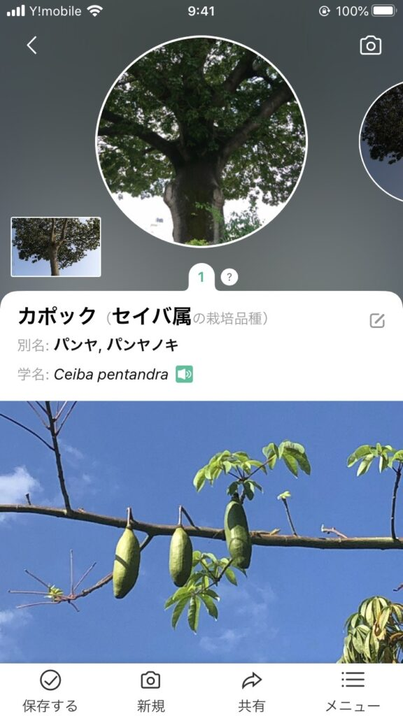 アプリで調べた結果カポックという植物のようです
