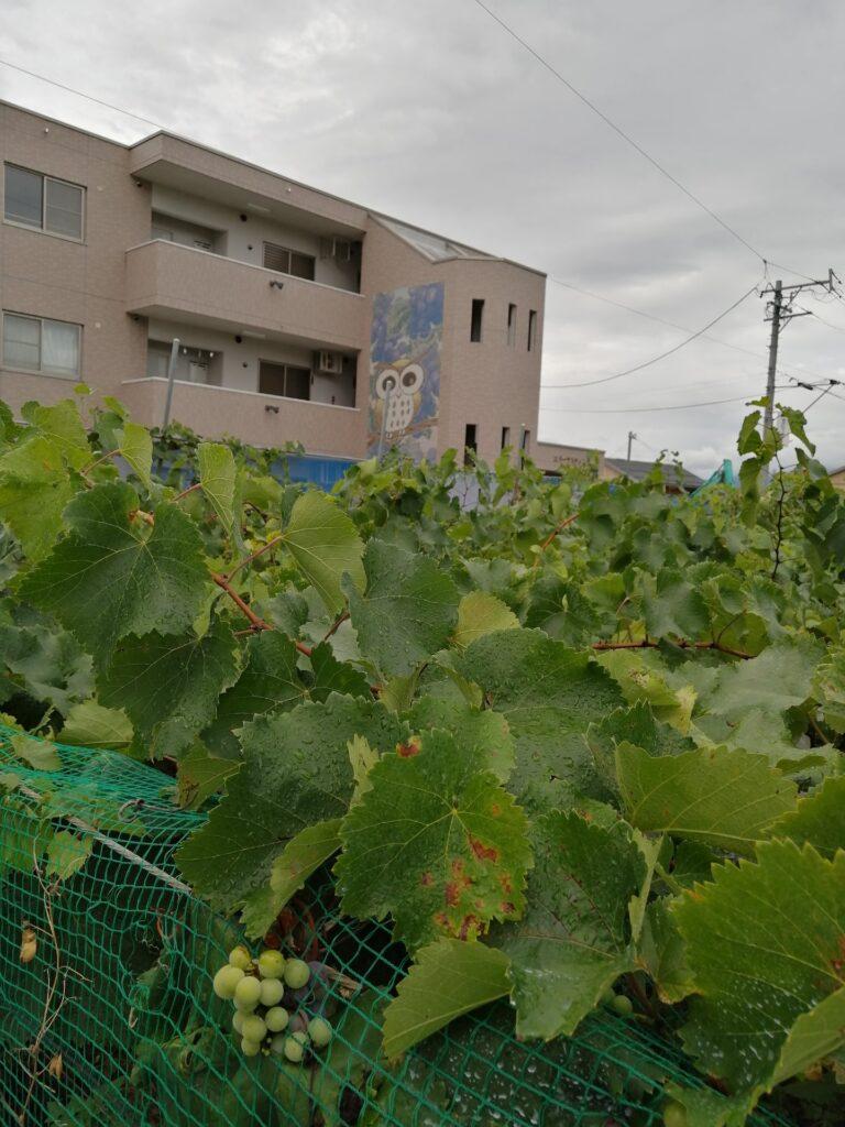 松本市内のブドウ畑