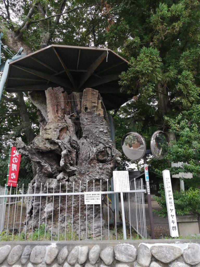 松本市惣社の「伊和神社」にある樹齢1000年以上のケヤキの木