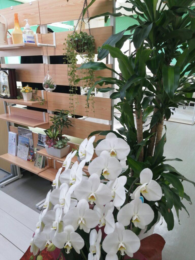 H.I.C不動産応接室の真っ白な胡蝶蘭と観葉植物