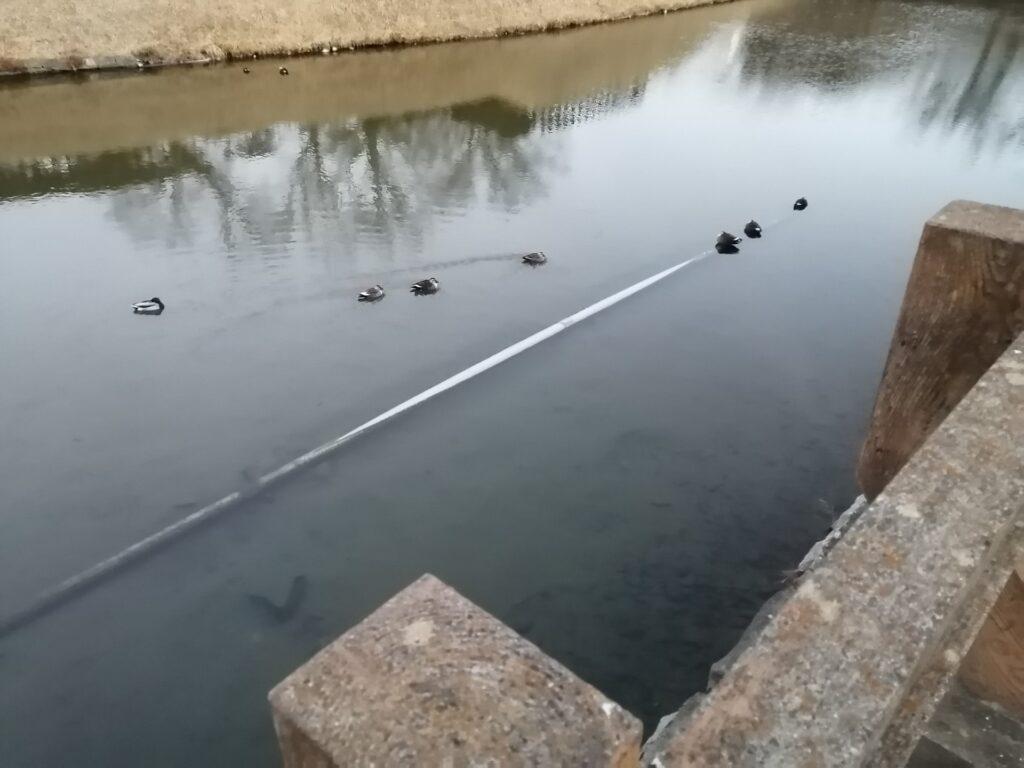 配管の上で暖をとる松本城のお濠の鴨たち