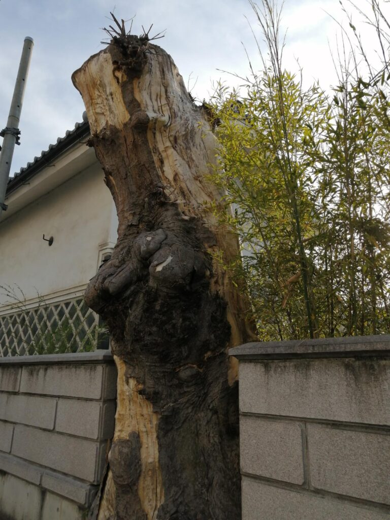 大木の根っこ