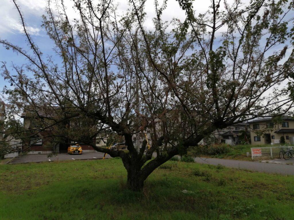 アメシロに食べられてスカスカの木