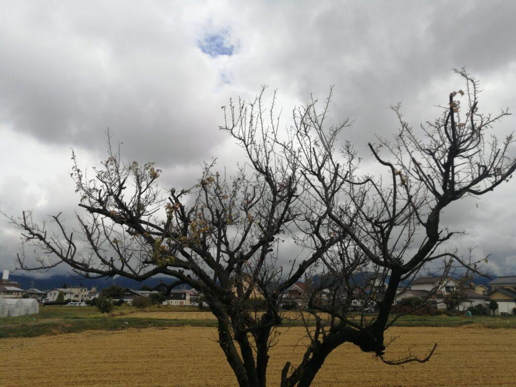 松本市島立の土地にある小梅の木